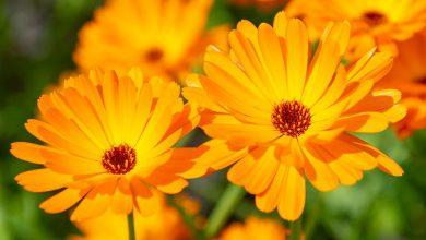 گل همیشه بهار
